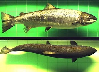 2012-09-07-12-48-35-fish0066-0037-oppdrett_348x254